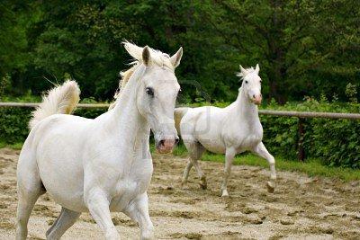 Un cheval li�e � l'�cole espagnol : le Lipizzan