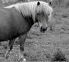 Horseastuc