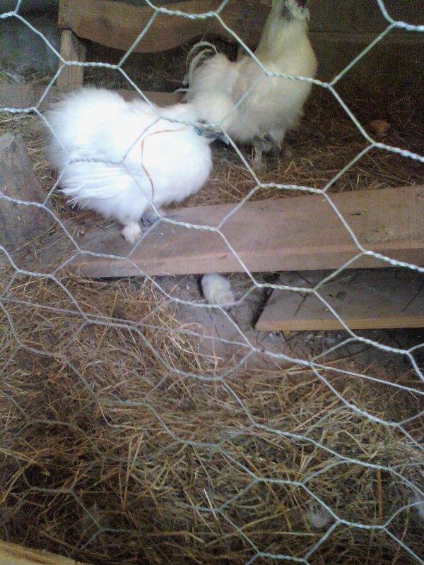 Poule n gre soie blanche non barbue for Poule soie blanche prix