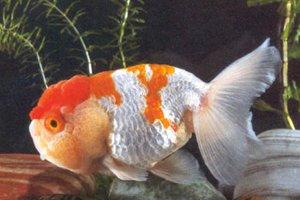 Les race de poisson rouge le t te de lion blog de for Achat poisson rouge japonais