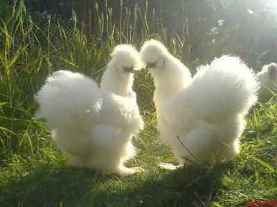 Poule d 39 ornement negre soie blanche poules d 39 ornement et for Race poule d ornement