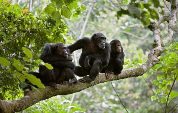 JANE GOODALL: La véritable amie des chimpanzés