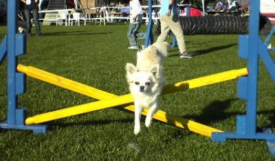 l'agility - l'univers du chihuahua!!