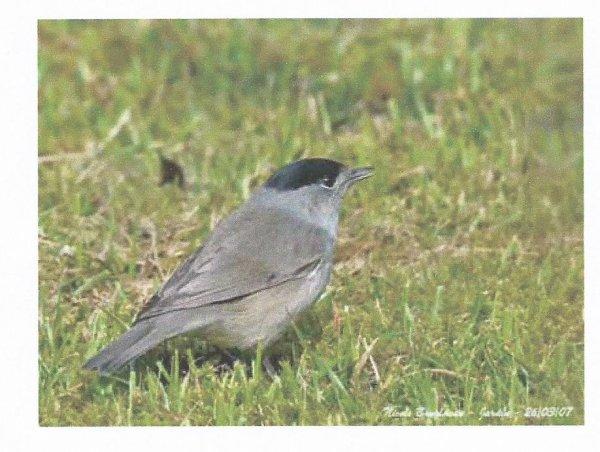 La fauvette t te noire lapierredefontaine for Petit oiseau gris