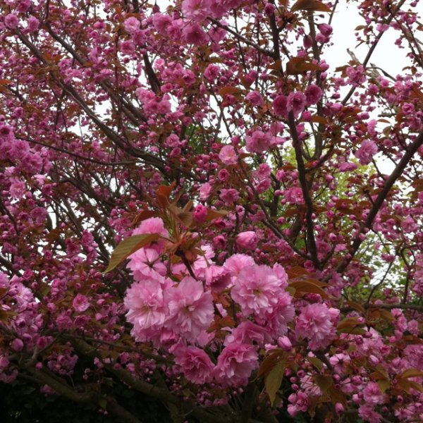 le cerisier en fleurs aujourd 39 hui clione. Black Bedroom Furniture Sets. Home Design Ideas