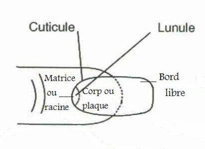 ANATOMIE DE L ONGLE DOWNLOAD