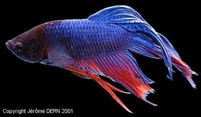 Blog de alexdu8929 page 3 l 39 aquariophile for Nourriture poisson betta