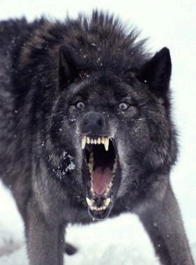 Les Loups Garous Avec Ricky Sailor Le Grand M...