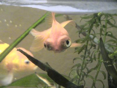 La globule poissons rouges japonais une belle histoire for Achat poisson rouge japonais