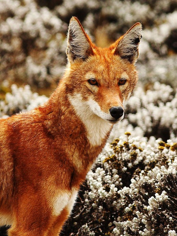 Le Loup d'Abyssinie