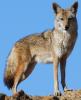 Le Coyote
