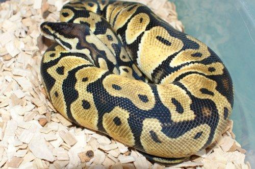 Python Regius Lemon
