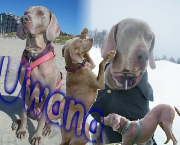 UWANA DU USSELSKIRCH chien de chasse � tout faire, sauf chasser!!!