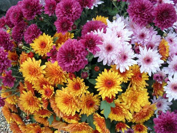 A1831 : Les belles fleurs de la Toussaint...