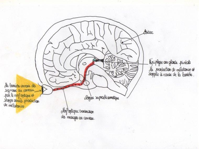 III) Les effets sur notre organisme et notre moral. - TPE
