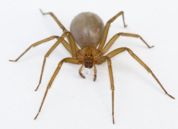 recluse brune
