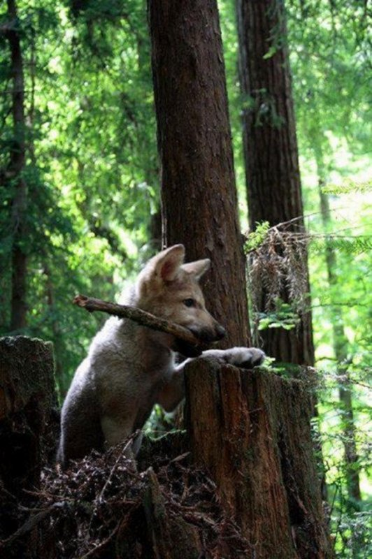 Le loup assure vie et sant� � ses proies   L'observation scientifique r�v�le que les proies du loup sont presque toujours les individus malades ou tr�s faibles. Ce qui assure la sant� du troupeau.