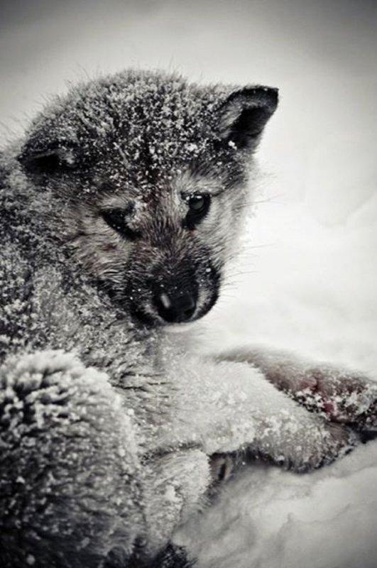 Loups des villes,     loups des champs      Malgr� les si�cles, la peur du loup reste toujours pr�sente. Pourtant, aujourd'hui, c'est lui qui risque de dispara�tre en d�pit de l'effort de nos justes