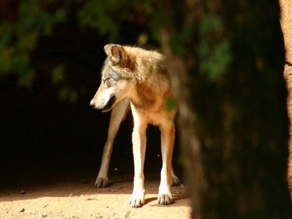 Loup ou coyote ???