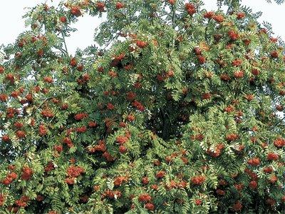 sorbier sorbus aucuparia arbre de la famille des rosac es sous famille des malac es alisier. Black Bedroom Furniture Sets. Home Design Ideas