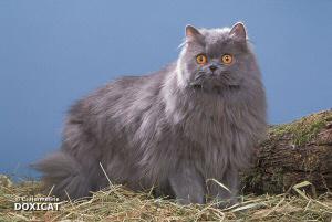 persan bleu vous alez le 2 mes animal pr ferer le chat. Black Bedroom Furniture Sets. Home Design Ideas