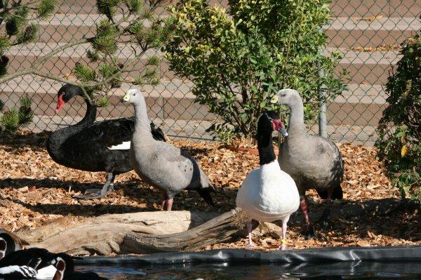 Arao 2010 mes petits exotiques - Bassin canard d ornement pau ...