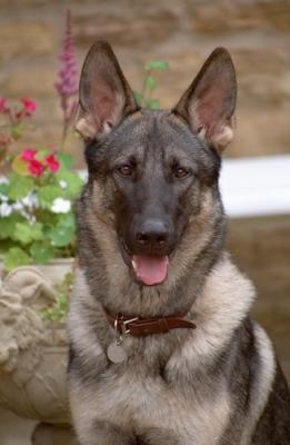Sable - Le Berger-Allemand : C'est un chien, c'est un...