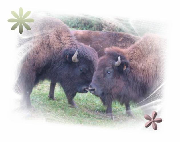 buffalomemory86