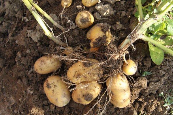R colte des pomme de terre truc et astuce pour le jardin - Recolte des pommes de terre ...