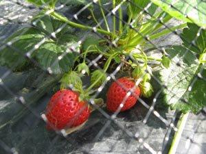 plantation des fraisiers truc et astuce pour le jardin. Black Bedroom Furniture Sets. Home Design Ideas