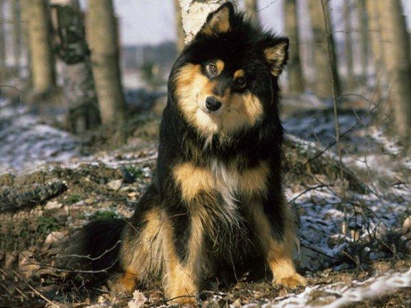 blog de toute les race de chien race de chiens leur description. Black Bedroom Furniture Sets. Home Design Ideas