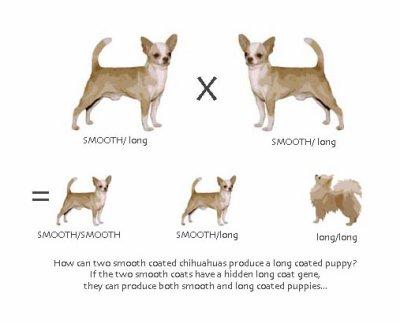 Différents types de poils: - Chihuahua sans tabous