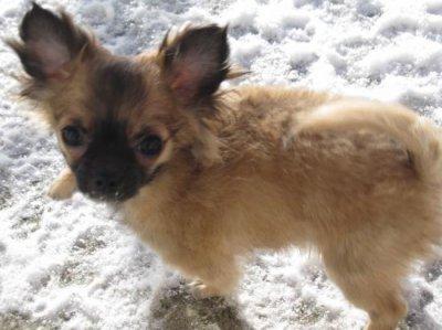 Evolution du chiot: - Chihuahua sans tabous