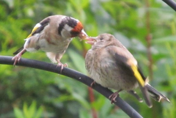 Goldfinch and Chick...