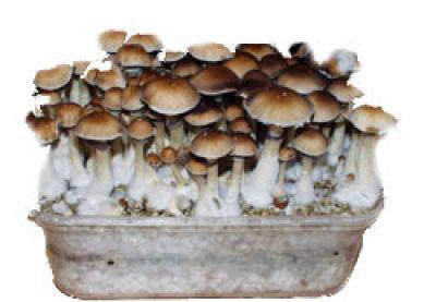 blog de frenchmush tout sur les champignons magiques. Black Bedroom Furniture Sets. Home Design Ideas