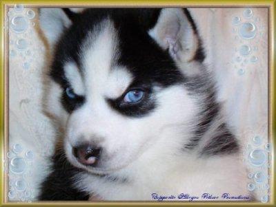 J 39 adore les uski les chiens - Husky con occhi diversi ...