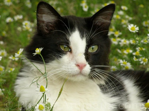 un chat noir et blanc blog de animaux08800. Black Bedroom Furniture Sets. Home Design Ideas