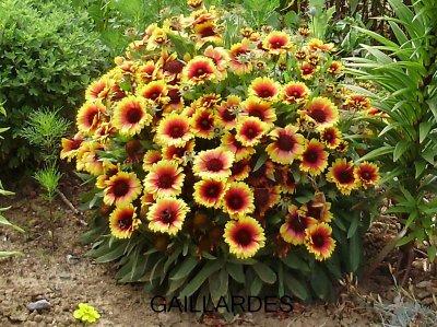 Les plantes vivaces le jardin et les fleurs for Plante de jardin vivace