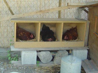 les poules mon cabanon. Black Bedroom Furniture Sets. Home Design Ideas