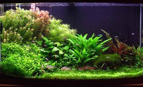 Plantes en aquariums aquabase for Plantes japonaises