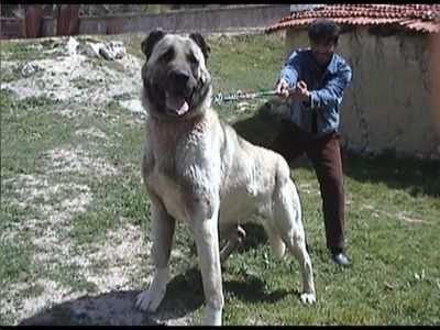 berger d anatolie kangal le chien le plus puissant au