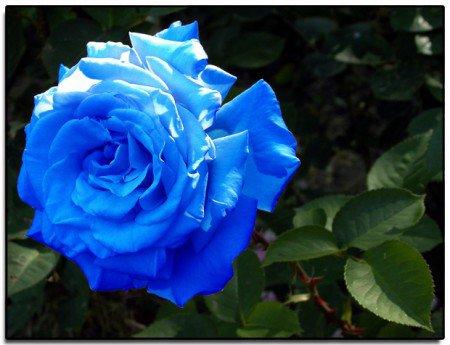 Rose bleue <3