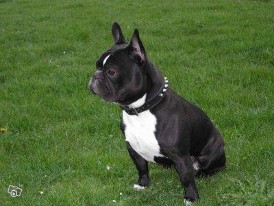 bouledogue francais couleur noire avec cravate blanche