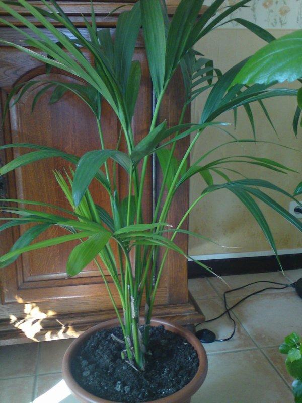 mes palmiers d 39 int rieur les palmiers en lorraine fleurs et compagnie. Black Bedroom Furniture Sets. Home Design Ideas