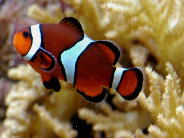 Poisson clown ou n�mo