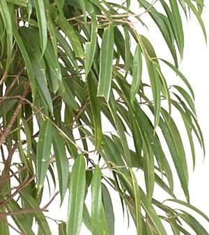 Les plantes d 39 interieur ficus longifolia nomenclature ithcf for Ficus plante interieur