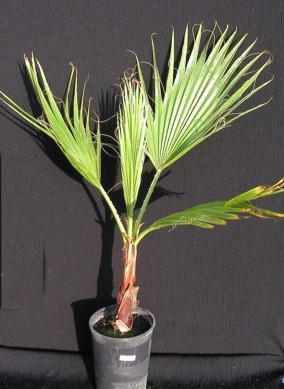 Les plantes d 39 interieur whashingtonia filifera for Les plantes d interieur