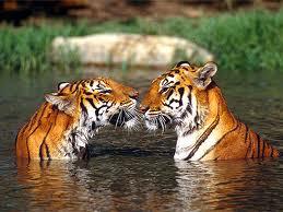 Article � remixer si vous aussi vous �tes contre la maltraitance envers les Tigres !