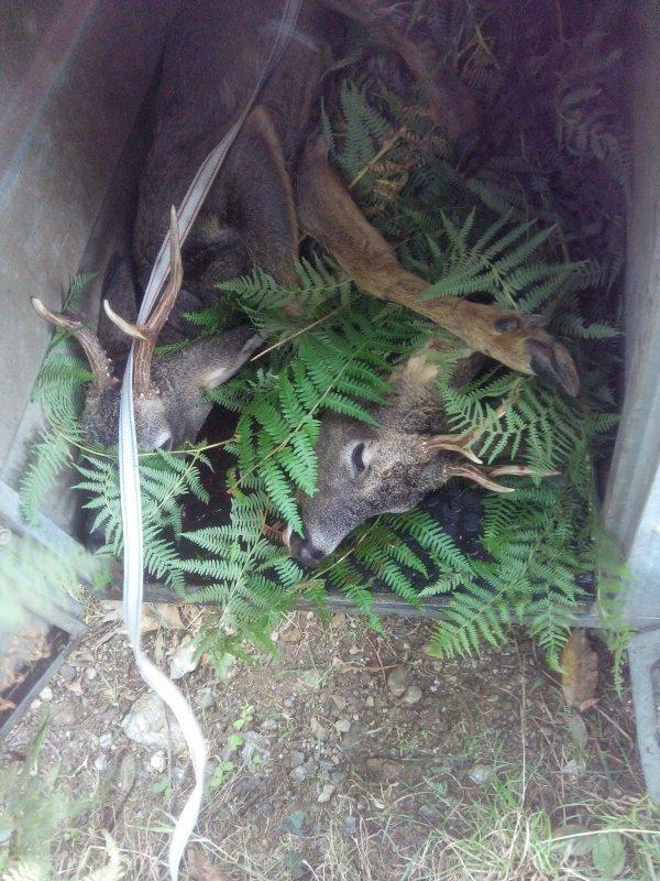 Jabali y corzos (matados por Selas ,Jos� Lamas y Dani)