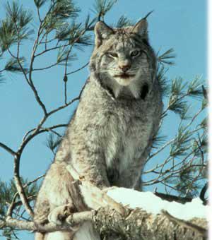le lynx du canada bienvenue dans le monde des f lins. Black Bedroom Furniture Sets. Home Design Ideas